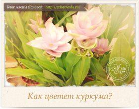 Миниатюра к статье Немного личного или как  цветет куркума)