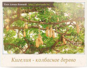 Миниатюра к статье Кигелия—  африканское колбасное дерево, сохраняющее молодость!