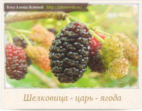 Миниатюра к статье Ягода шелковица— продлевает жизнь и возвращает молодость!