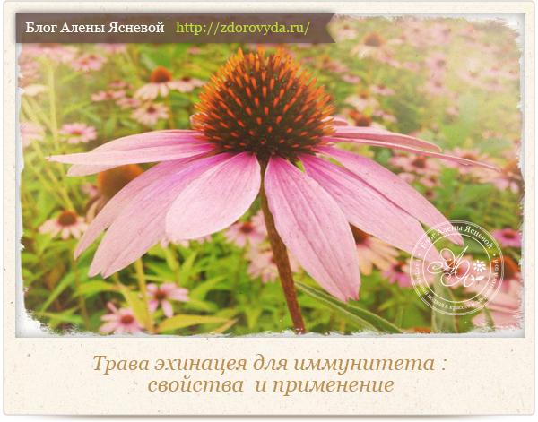 Эхинацея цветок для сада