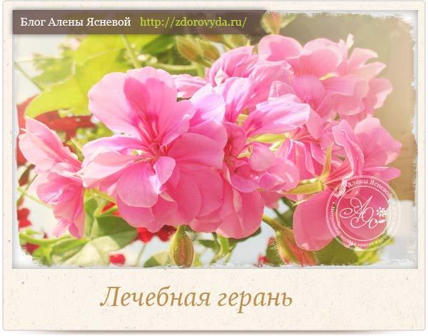 Цветок герань свойства фото
